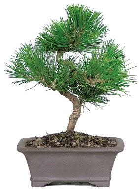 Çam ağacı bonsai japon ağacı bitkisi  Hatay cicek , cicekci