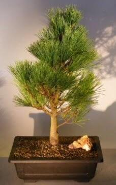 Çam ağacı japon ağacı bitkisi bonsai  Hatay cicekciler , cicek siparisi
