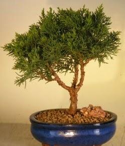 Servi çam bonsai japon ağacı bitkisi  Hatay online çiçek gönderme sipariş