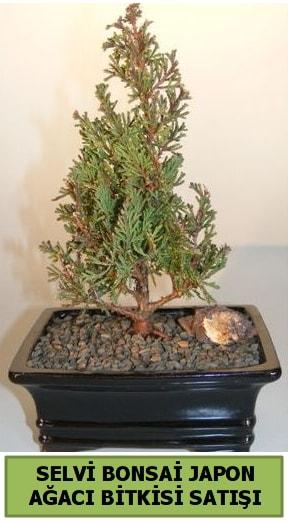 Selvi çam japon ağacı bitkisi bonsai  Hatay cicekciler , cicek siparisi