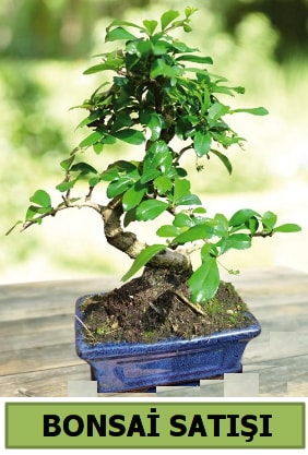 Çam bonsai japon ağacı satışı  Hatay uluslararası çiçek gönderme