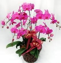 Sepet içerisinde 5 dallı lila orkide  Hatay anneler günü çiçek yolla
