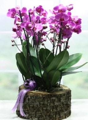 Kütük içerisinde 6 dallı mor orkide  Hatay anneler günü çiçek yolla