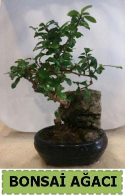 Bonsai ağacı japon ağacı satışı  Hatay hediye sevgilime hediye çiçek