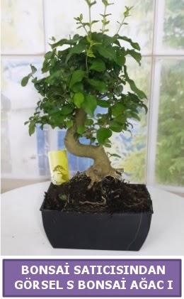 S dal eğriliği bonsai japon ağacı  Hatay uluslararası çiçek gönderme