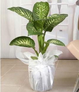 Tropik saksı çiçeği bitkisi  Hatay uluslararası çiçek gönderme