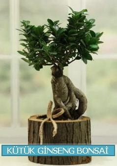 Kütük ağaç içerisinde ginseng bonsai  Hatay çiçek siparişi vermek