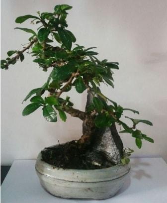 S şeklinde ithal bonsai ağacı  Hatay online çiçek gönderme sipariş