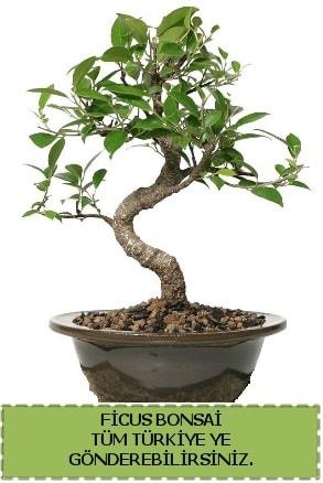 Ficus bonsai  Hatay çiçek siparişi vermek