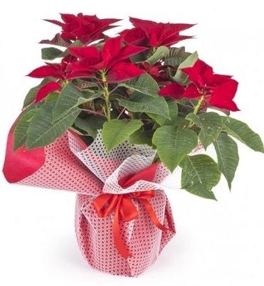 Atatürk çiçeği saksı bitkisi  Hatay çiçek siparişi vermek