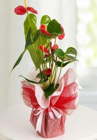 Anthurium Saksı Çiçeği  Hatay hediye sevgilime hediye çiçek