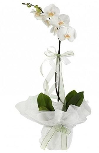 Tekli Beyaz Orkide  Hatay hediye sevgilime hediye çiçek