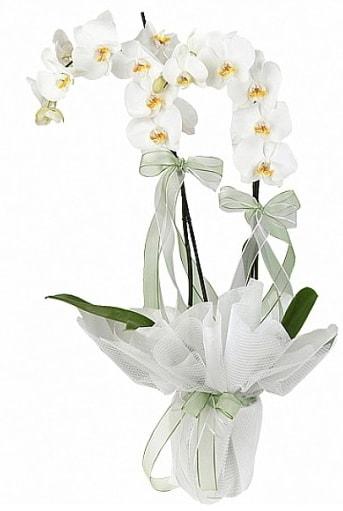 Çift Dallı Beyaz Orkide  Hatay çiçek gönderme
