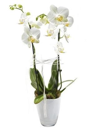 2 dallı beyaz seramik beyaz orkide saksısı  Hatay çiçek siparişi vermek