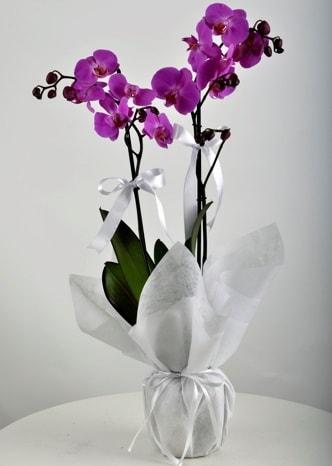 Çift dallı saksıda mor orkide çiçeği  Hatay yurtiçi ve yurtdışı çiçek siparişi