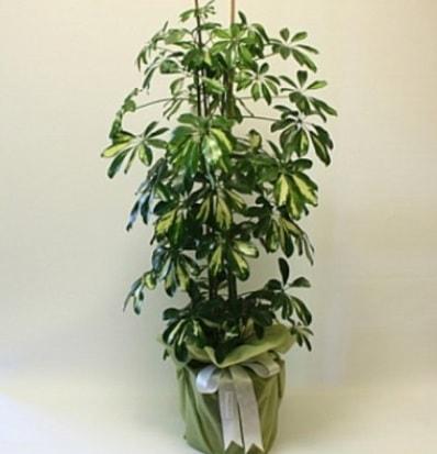Şeflera salon bitkisi  Hatay cicek , cicekci