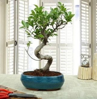 Amazing Bonsai Ficus S İthal  Hatay güvenli kaliteli hızlı çiçek