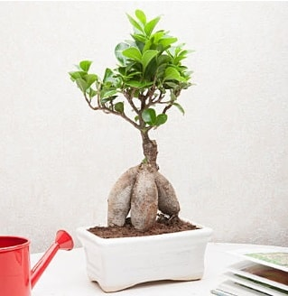 Exotic Ficus Bonsai ginseng  Hatay çiçek , çiçekçi , çiçekçilik