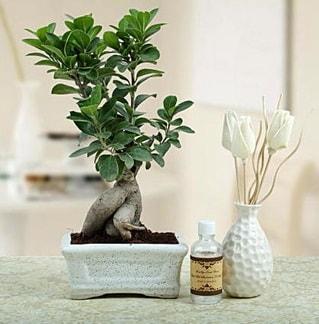Ginseng ficus bonsai  Hatay kaliteli taze ve ucuz çiçekler