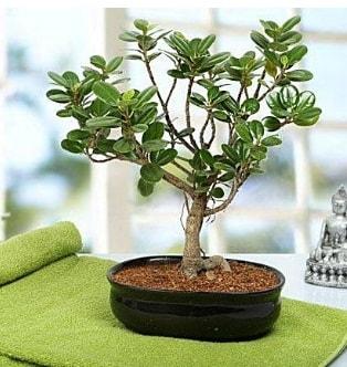 Lovely Ficus Iceland Bonsai  Hatay çiçek gönderme