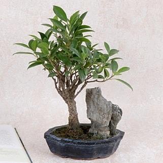 Japon ağacı Evergreen Ficus Bonsai  Hatay çiçek siparişi vermek
