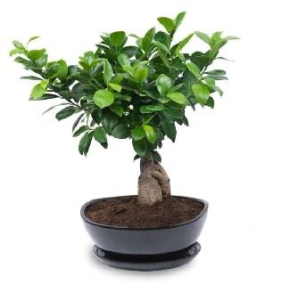 Ginseng bonsai ağacı özel ithal ürün  Hatay çiçek mağazası , çiçekçi adresleri