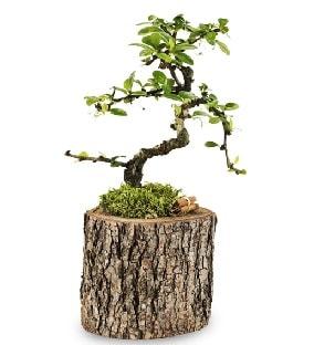 Doğal kütükte S bonsai ağacı  Hatay uluslararası çiçek gönderme