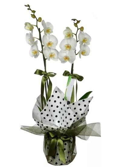 Çift Dallı Beyaz Orkide  Hatay çiçek yolla