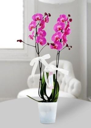 Çift dallı mor orkide  Hatay kaliteli taze ve ucuz çiçekler