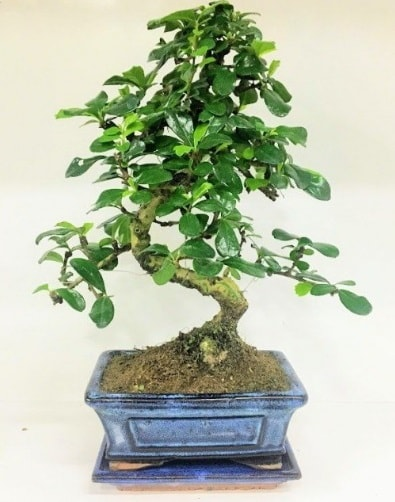 S Bonsai japon ağacı bitkisi  Hatay çiçek gönderme sitemiz güvenlidir