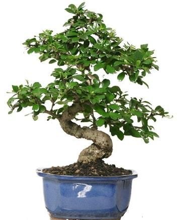 21 ile 25 cm arası özel S bonsai japon ağacı  Hatay cicekciler , cicek siparisi