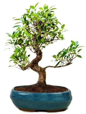 25 cm ile 30 cm aralığında Ficus S bonsai  Hatay çiçek siparişi vermek