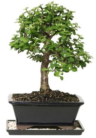 15 cm civarı Zerkova bonsai bitkisi  Hatay çiçek servisi , çiçekçi adresleri