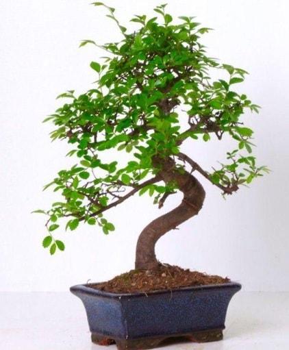 S gövdeli bonsai minyatür ağaç japon ağacı  Hatay çiçek siparişi vermek