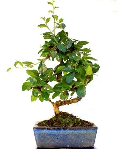 S gövdeli carmina bonsai ağacı  Hatay online çiçek gönderme sipariş  Minyatür ağaç