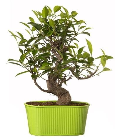 Ficus S gövdeli muhteşem bonsai  Hatay çiçek servisi , çiçekçi adresleri