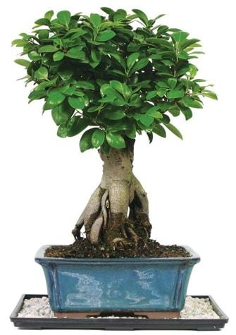 Bonsai Ginsing Grafted Ficus Bonsai  Hatay online çiçek gönderme sipariş