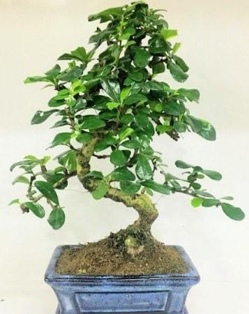Zelkova S gövdeli Minyatür ağaç Bonzai  Hatay cicek , cicekci