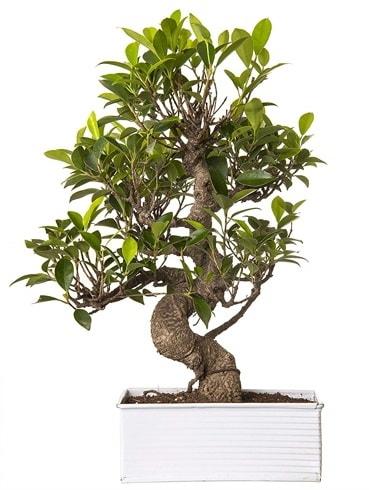Exotic Green S Gövde 6 Year Ficus Bonsai  Hatay çiçek siparişi vermek