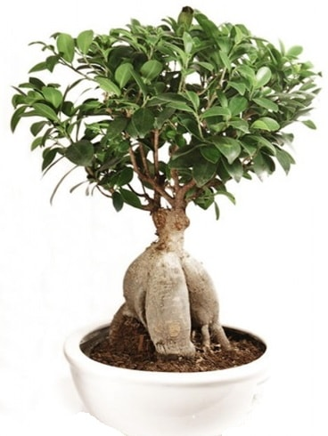Ginseng bonsai japon ağacı ficus ginseng  Hatay internetten çiçek siparişi