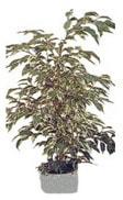 Hatay çiçek satışı  Ficus starlight