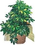 Hatay güvenli kaliteli hızlı çiçek  Schefflera gold